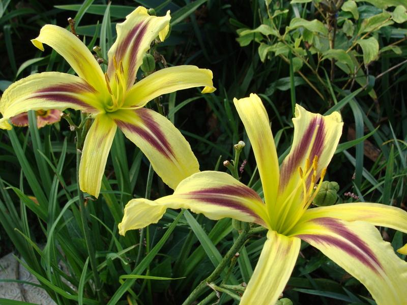 Photo of Daylily (Hemerocallis 'Marked by Lydia') uploaded by bluegrassmom