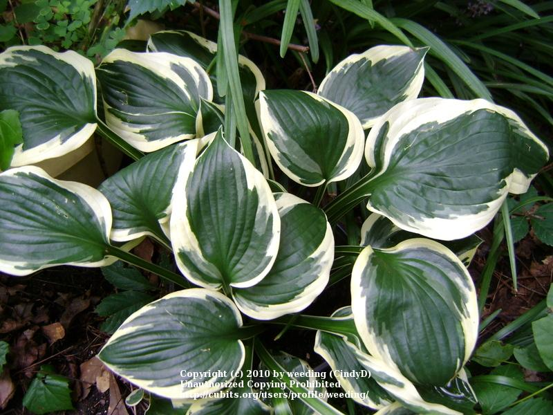 Photo of Hosta 'Patriot' uploaded by weeding