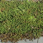Carpet of Sedum Acre, late winter, zone5