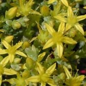 Close up of Sedum Acre in Bloom