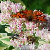 This plant provides late food for the Comma and other Butterflies