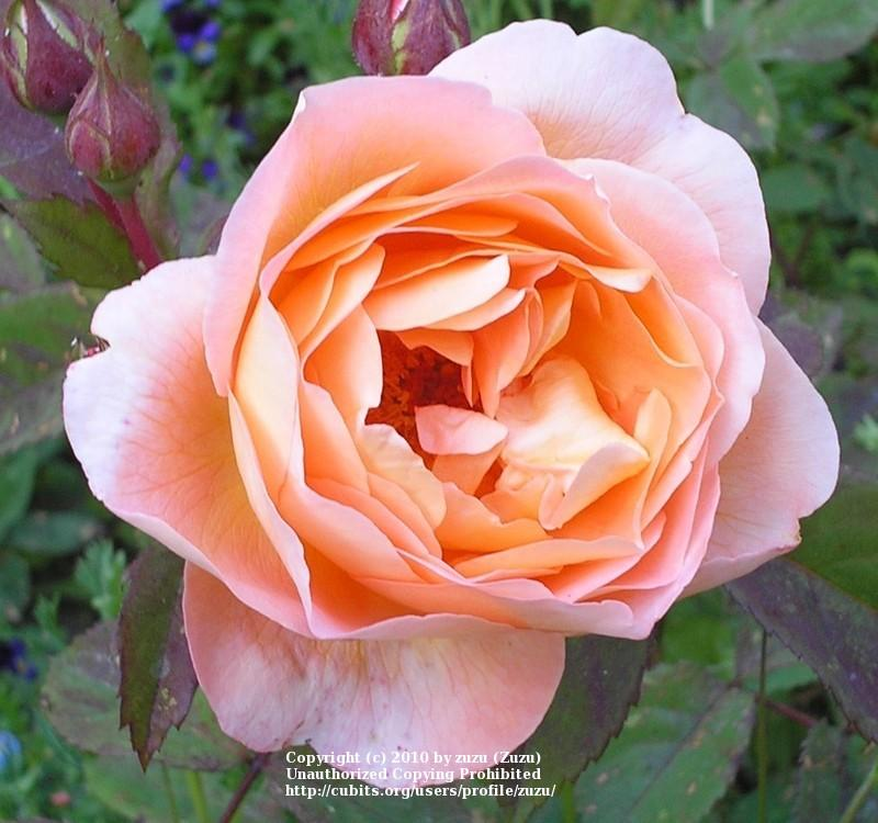 Photo of Rose (Rosa 'Lady Emma Hamilton') uploaded by zuzu