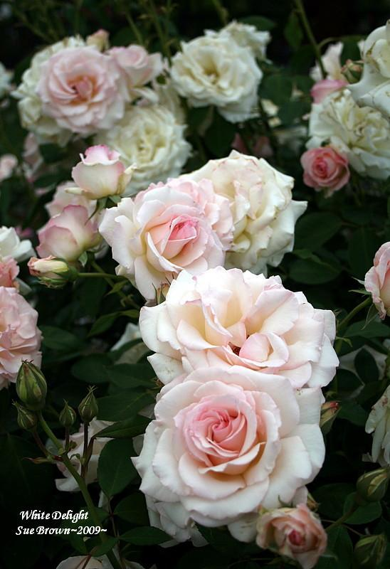 Photo of Rose (Rosa 'White Delight') uploaded by Calif_Sue