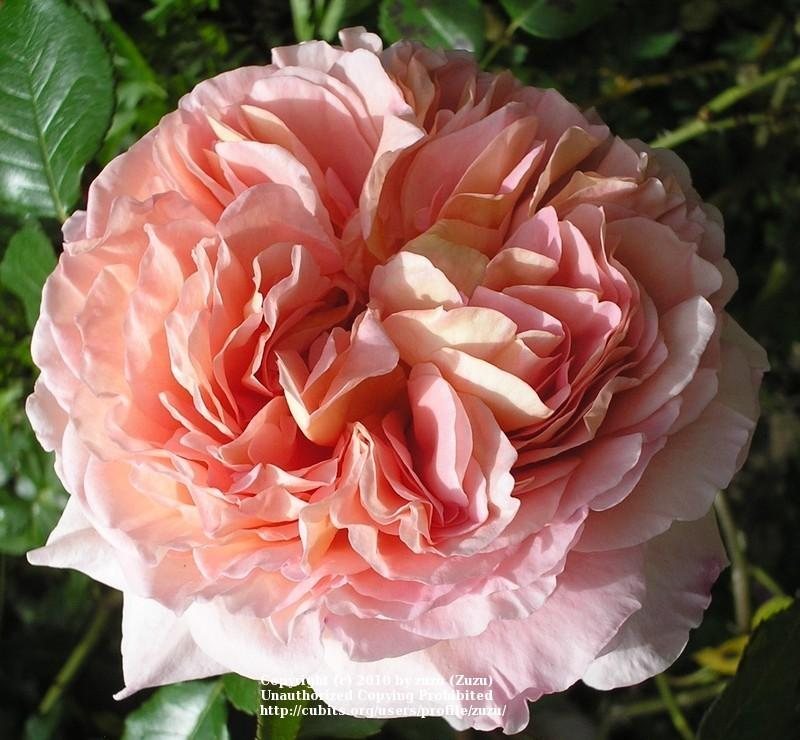 Photo of Rose (Rosa 'Abraham Darby') uploaded by zuzu