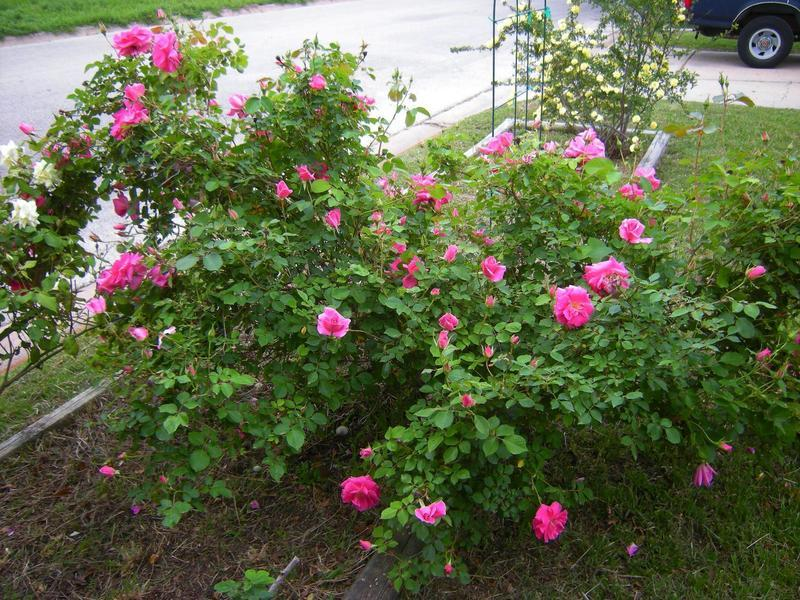 Photo of Rose (Rosa 'Carefree Beauty') uploaded by melva
