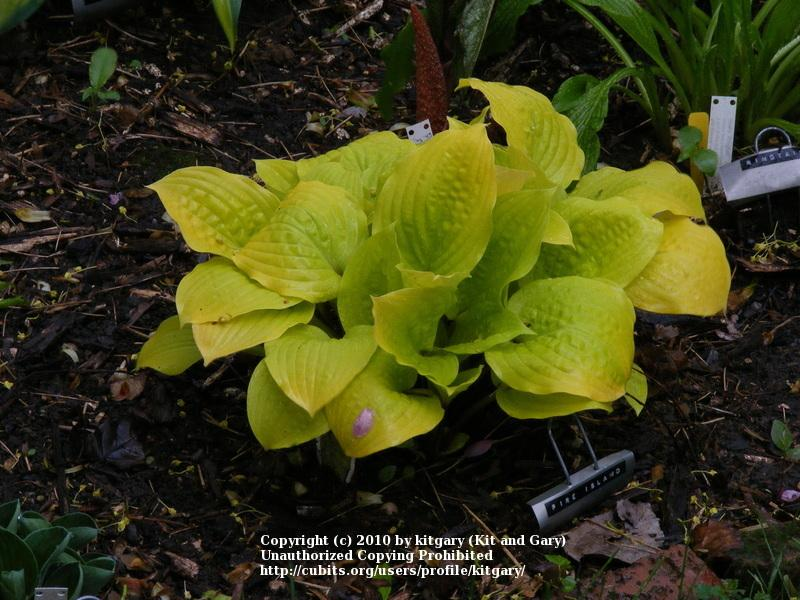 Photo of Hosta 'Fire Island' uploaded by kitgary