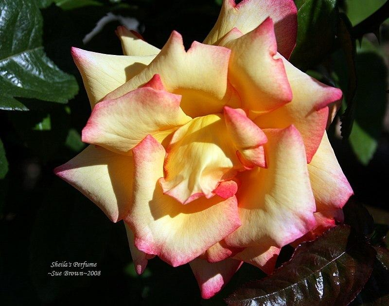 Photo of Rose (Rosa 'Sheila's Perfume') uploaded by Calif_Sue