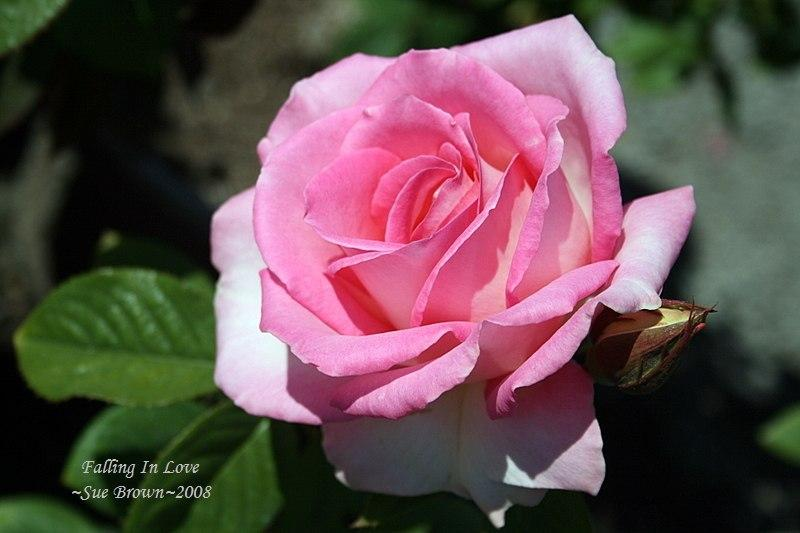 Photo of Rose (Rosa 'Falling in Love') uploaded by Calif_Sue