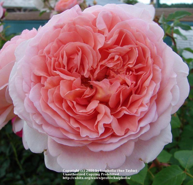 Photo of Rose (Rosa 'Abraham Darby') uploaded by kniphofia