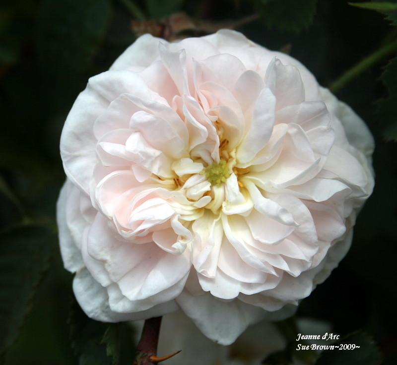 Photo of Rose (Rosa 'Jeanne d'Arc') uploaded by Calif_Sue