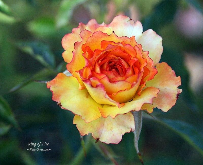 Photo of Rose (Rosa 'Ring of Fire') uploaded by Calif_Sue