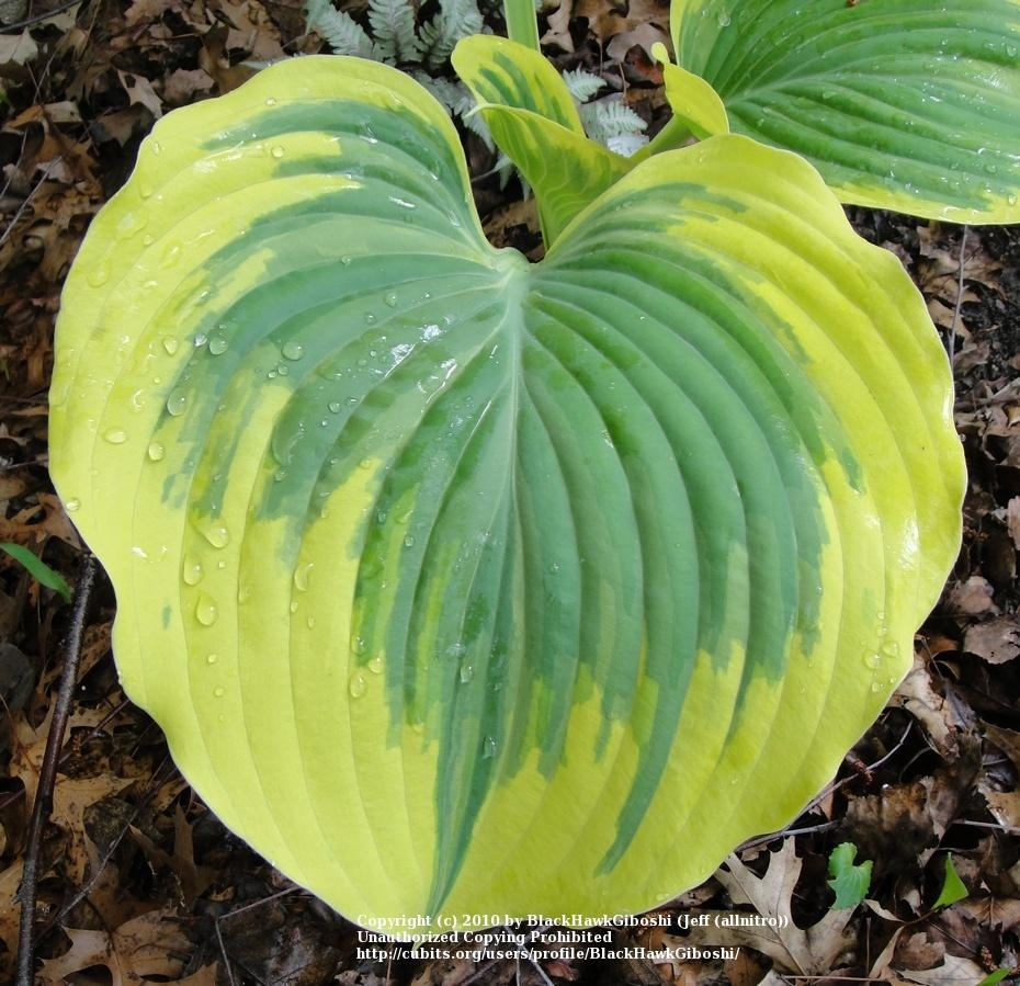 Photo of Hosta 'Liberty' uploaded by BlackHawkGiboshi