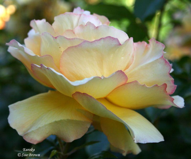 Photo of Rose (Rosa 'Eureka') uploaded by Calif_Sue