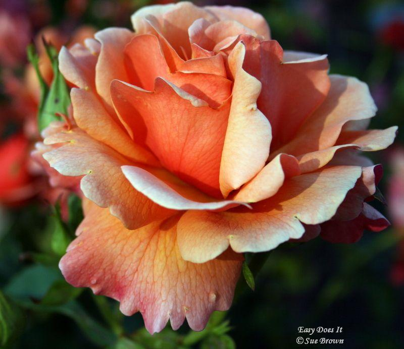Photo of Rose (Rosa 'Easy Does It') uploaded by Calif_Sue
