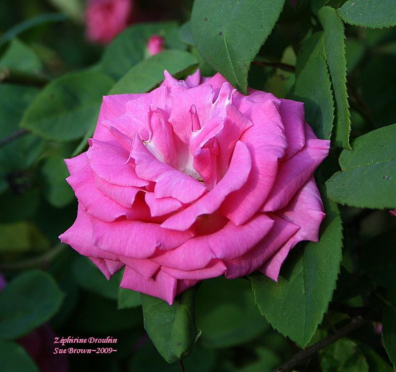 Photo of Rose (Rosa 'Zephirine Drouhin') uploaded by Calif_Sue