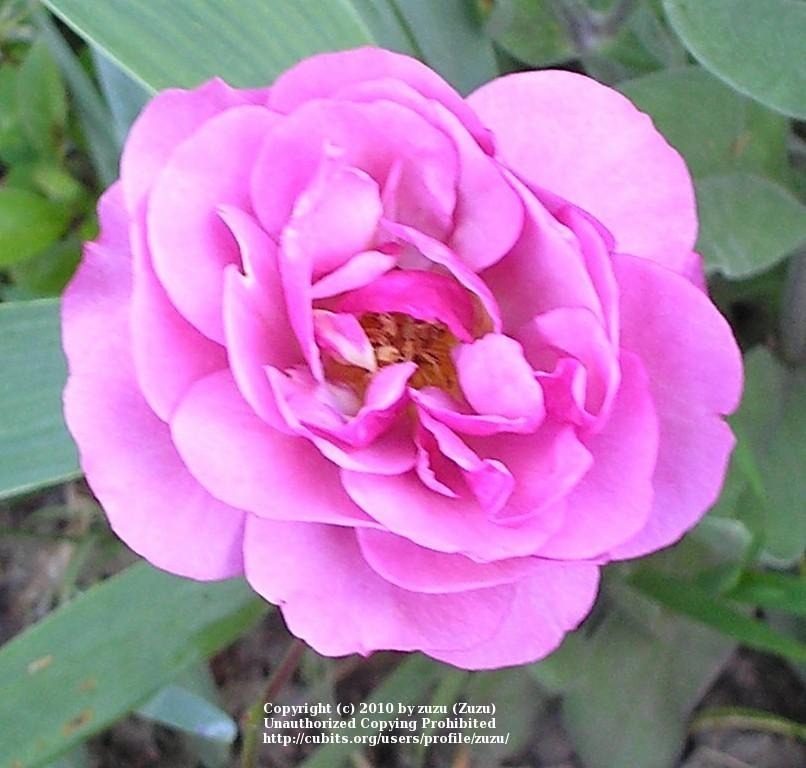Photo of Rose (Rosa 'Magenta') uploaded by zuzu
