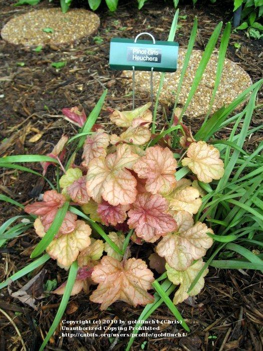 Photo of Coral Bells (Heuchera villosa 'Pinot Gris') uploaded by goldfinch4