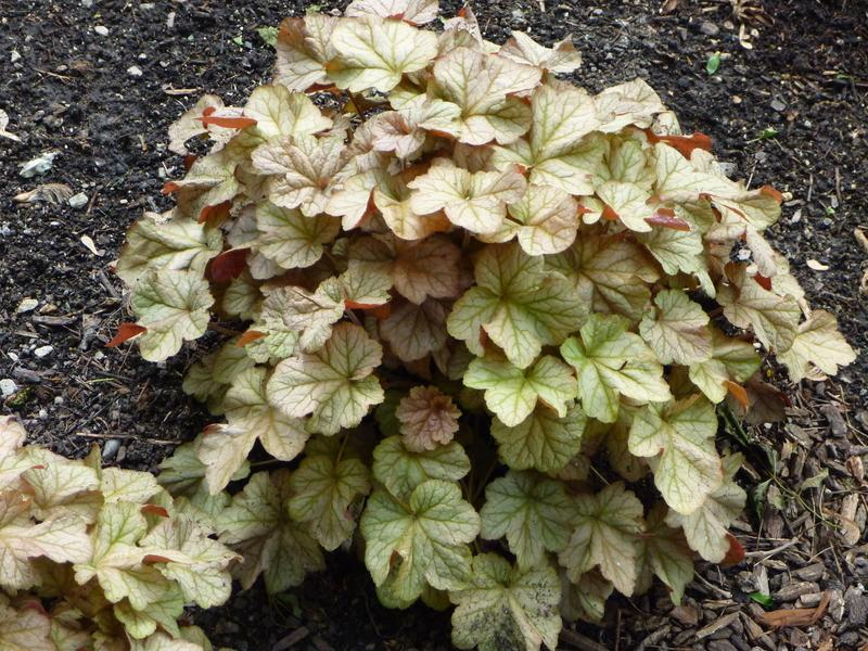 Photo of Coral Bells (Heuchera villosa 'Pinot Gris') uploaded by medinac