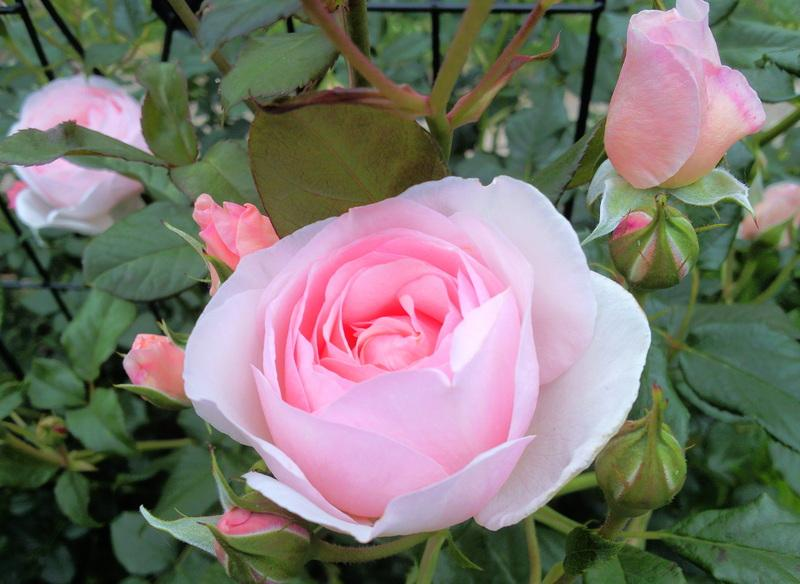 Photo of Rose (Rosa 'Heritage') uploaded by Tex68