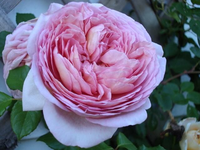 Photo of Rose (Rosa 'Abraham Darby') uploaded by dana