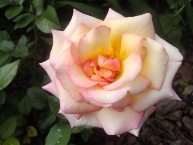 Photo of Rose (Rosa 'Sheila's Perfume') uploaded by dana