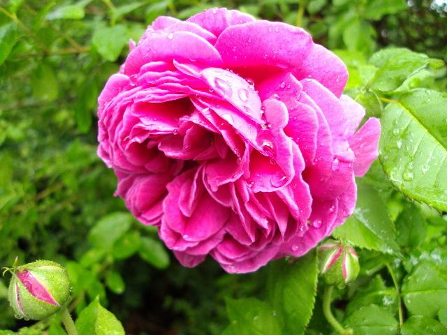 Photo of Rose (Rosa 'Madame Isaac Pereire') uploaded by dana