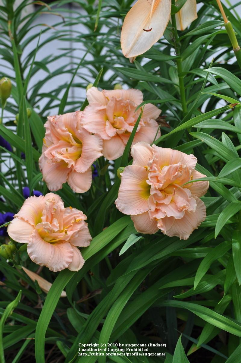 Photo of Daylily (Hemerocallis 'Siloam Double Classic') uploaded by sugarcane
