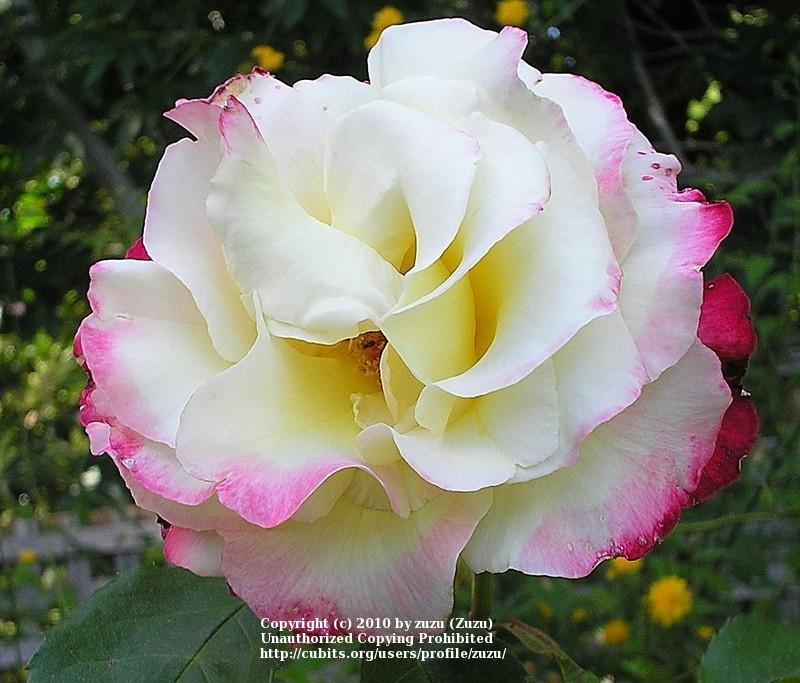 Photo of Rose (Rosa 'Double Delight') uploaded by zuzu