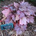 Heuchera:  Jewels in the garden