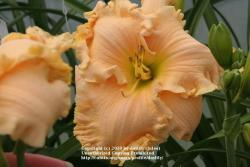 Thumb of 2010-06-13/daylily/d2bd77