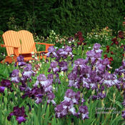 At Schreiner's Iris Gardens, Oregon.