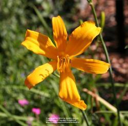 Thumb of 2010-06-18/daylily/7b3942