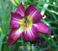 Thumb of 2010-06-18/daylily/e66b36