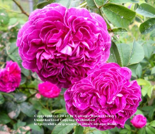 Photo of Rose (Rosa 'Charles de Mills') uploaded by Cottage_Rose