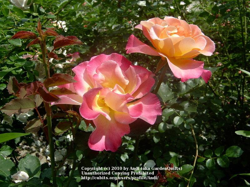 Photo of Rose (Rosa 'Granada') uploaded by Andi