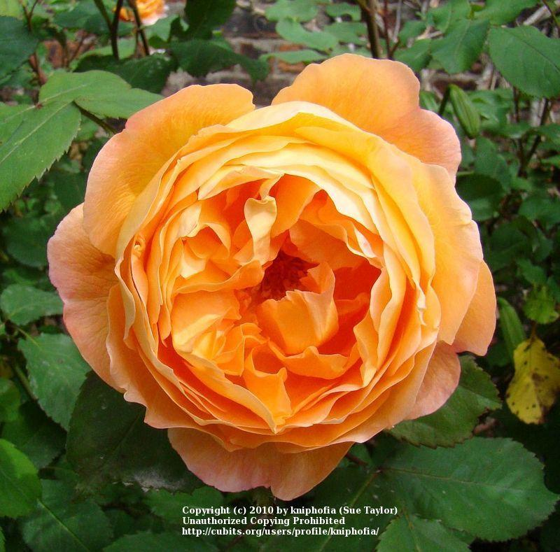 Photo of Rose (Rosa 'Lady Emma Hamilton') uploaded by kniphofia