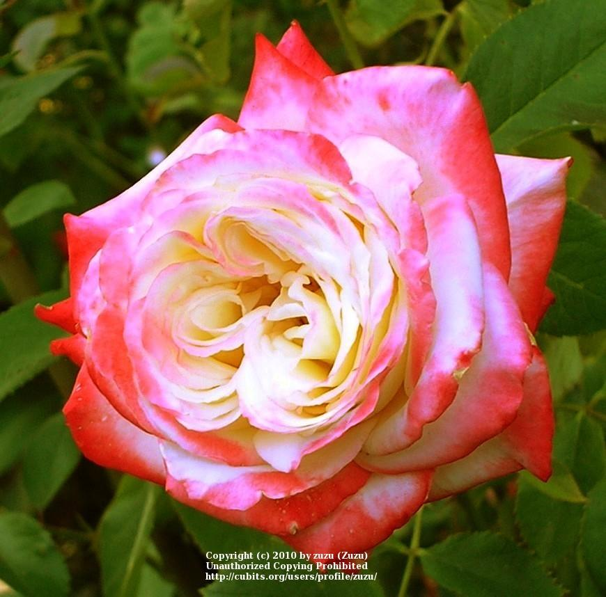 Photo of Rose (Rosa 'Imperatrice Farah') uploaded by zuzu