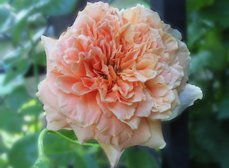 Photo of Rose (Rosa 'Royal Sunset') uploaded by Tex68