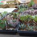 Propagation of Tender Succulents