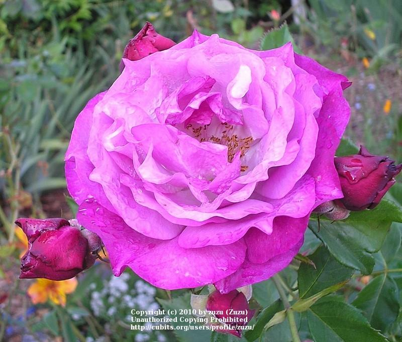 Photo of Rose (Rosa 'Wild Blue Yonder') uploaded by zuzu