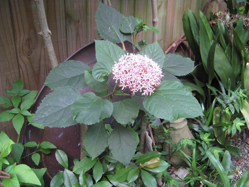 Photo of the bloom of Cashmere Bouquet (Clerodendrum bungei) posted ...