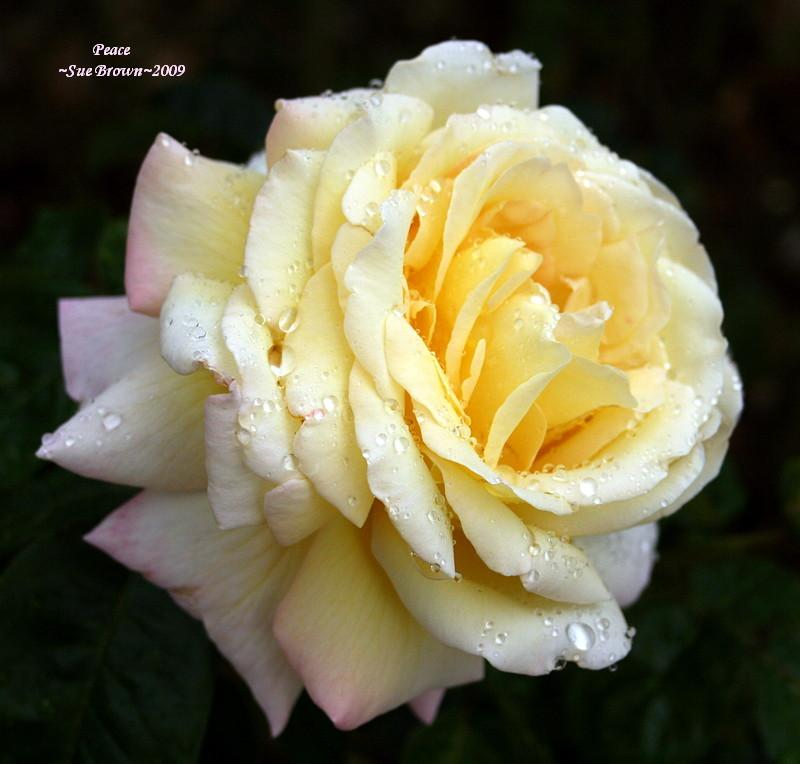 Photo of Rose (Rosa 'Peace') uploaded by Calif_Sue