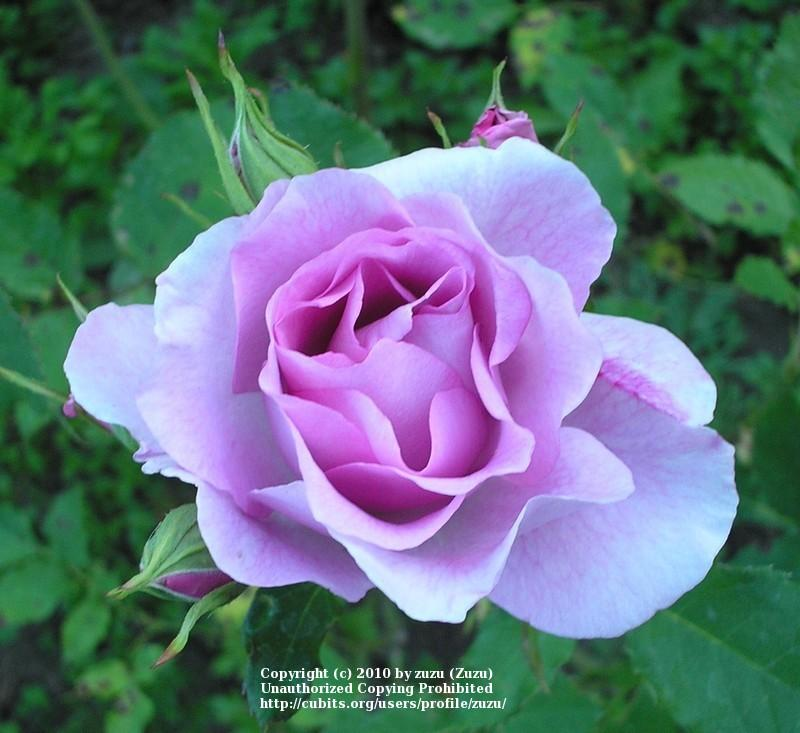 Photo of Rose (Rosa 'Cotillion') uploaded by zuzu