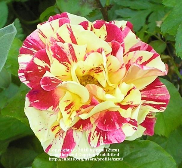 Photo of Rose (Rosa 'George Burns') uploaded by zuzu