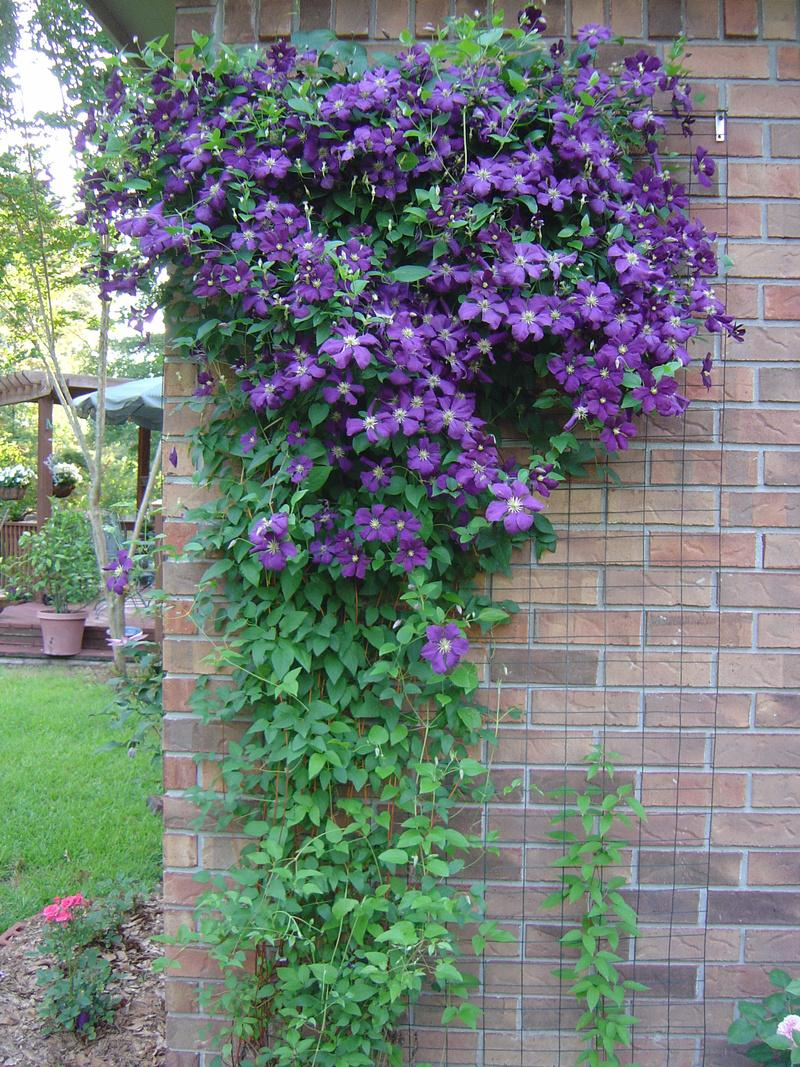 photo of the entire plant of clematis clematis viticella. Black Bedroom Furniture Sets. Home Design Ideas