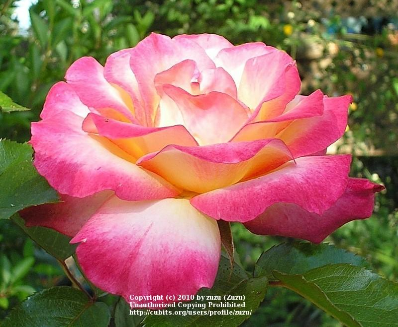 Photo of Rose (Rosa 'Granada') uploaded by zuzu
