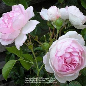 rose rosa 39 jasmina 39 in the roses database all things plants. Black Bedroom Furniture Sets. Home Design Ideas