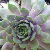 Sempervivum 'Twilight Blues'
