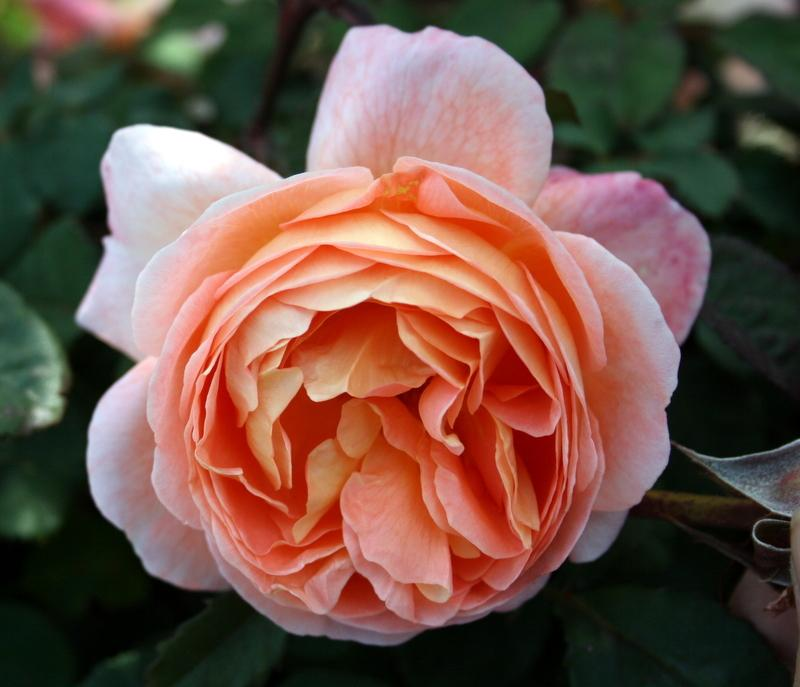 Photo of Rose (Rosa 'Lady Emma Hamilton') uploaded by Calif_Sue