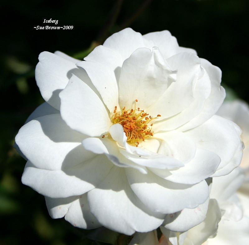 Photo of Rose (Rosa 'Iceberg, Cl.') uploaded by Calif_Sue